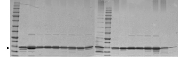 Applications: Protein Purification SDS-PAGE